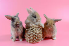 Three fluffy brown bunny on clean pink background Royalty Free Stock Image