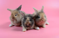 Three fluffy brown bunny on clean pink background, little rabbit. Three fluffy brown bunny sit on clean pink background, cute little rabbit Royalty Free Stock Images