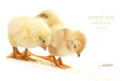 Three fluffy chicken Stock Photo