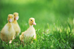 Free Three Fluffy Chicks Stock Photography - 15357492