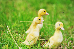 Three fluffy chicks Royalty Free Stock Photos