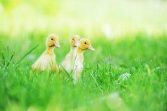 Three fluffy chicks Stock Photo