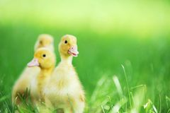 Three fluffy chicks Stock Photography