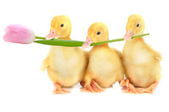 Three fluffy chicks Stock Image