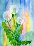 Three fluffy dandelions. On an abstract background. Hand-painted watercolor illustration and paper texture Stock Photography