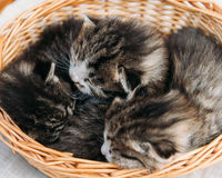 Three fluffy kitten in a basket Royalty Free Stock Photo