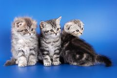 Three fluffy kitten skotish fold. On a blue background Stock Images