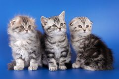 Three fluffy kitten skotish fold. On a blue background Stock Image