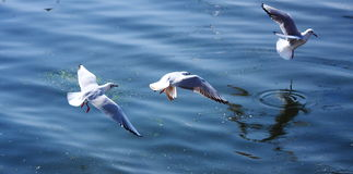 The Three Flying Black-headed Gulls Royalty Free Stock Image