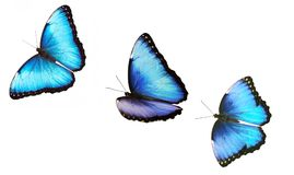 Three flying bright male blue morpho butterfly isolated on white background.