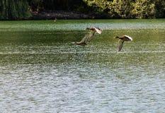 Three Flying Ducks Stock Photo