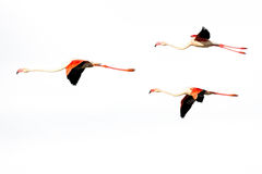 Three flying Flamingos isolated on a white background Stock Photo