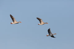 Three flying grey geese anser anser flying in blue sky Royalty Free Stock Photos