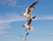 Three flying gulls. In the sky Royalty Free Stock Photo
