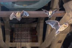 Three Flying pipistrelle bats in church tower. Three Pipistrelle bats (Pipistrellus pipistrellus) flying in church tower royalty free stock photo
