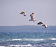 Three flying seagulls. Form a beautiful ensemble over the sea Stock Image