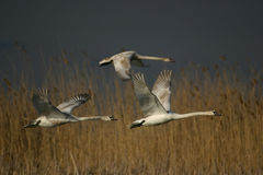 Three Flying Swans Royalty Free Stock Images