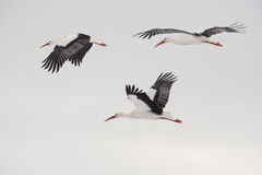 Three flying white storks Royalty Free Stock Photo