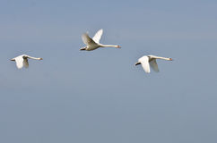 Three Flying White Swans Royalty Free Stock Images