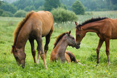 Three foals in a meadow. Three foals grazing in a meadow at summer time royalty free stock photography
