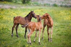 Three foals on meadow. Three foals plays on a meadow at summer time Royalty Free Stock Photography