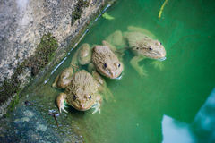 Three Fogs. Three frogs in the green water Stock Photo