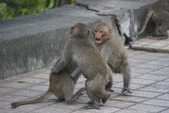Three Formosan macaques in mountains of Kaohsiung city, Taiwan, also called Macaca cyclopis. They are playing with each other Stock Photography