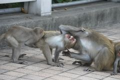 Three Formosan macaques in mountains of Kaohsiung city, Taiwan, also called Macaca cyclopis. They are playing with each other Royalty Free Stock Images