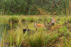 Three Fox (Vulpes vulpes) on Island Stock Image