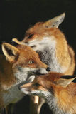 Three Foxes. Interacting together showing bonding behaviour Royalty Free Stock Photo