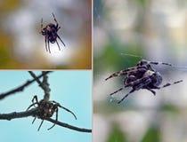 Three fragments: a spider-Araneus weaves a web. Three fragments on which spider-cross spider-Araneus weaves a web-macro royalty free stock photos