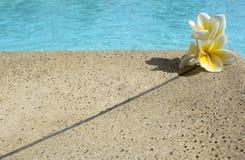 Three frangipane's flowers. On swimming pool border Royalty Free Stock Images