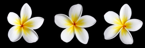 Three Frangipani on Black. Three beautiful frangipani (plumeria) flowers in a row, isolated on black stock images