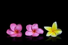 Three Frangipani on Black Background Royalty Free Stock Image