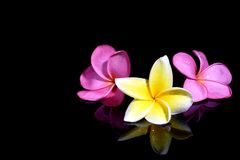 Three Frangipani on Black Background Stock Image