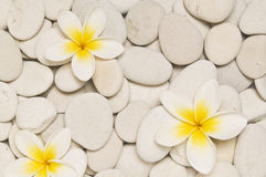 Three frangipani flowers Royalty Free Stock Photography