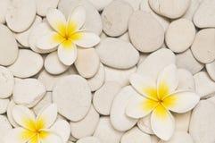 Three frangipani flowers Royalty Free Stock Photography