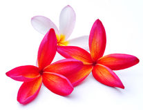 Three Frangipani flowers isolated Royalty Free Stock Image