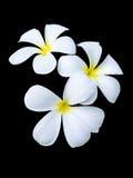 Three frangipani flowers Stock Photography