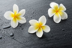 Three Frangipani plumeria Spa Flowers Royalty Free Stock Photo