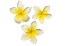 Three frangipanis Royalty Free Stock Image