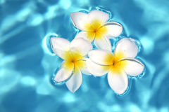 Three frangipanis on Swimming Pool Royalty Free Stock Photo