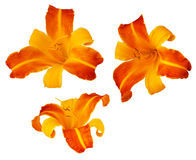 Three Frans Hals bicolored daylillies isolated on Royalty Free Stock Images