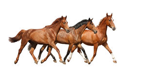 Three free horses happily trotting on white background Stock Image