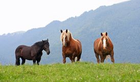 Three free  horses stallions at the top of the mountain in summe Stock Photo