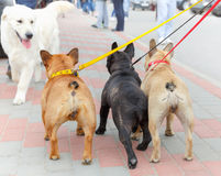 Three French Bulldog and labrador retriever Stock Photo