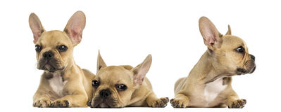 Three French bulldog puppies Royalty Free Stock Photography