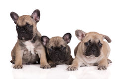 Three french bulldog puppies Royalty Free Stock Images
