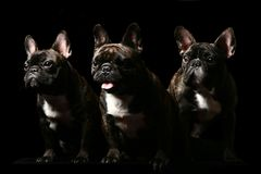 Three french bulldogs on black. Three french bulldogs poising on studio. Isolated on black stock image