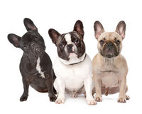 Three French Bulldogs in a row Royalty Free Stock Photos